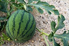 Agriculture watermelon Royalty Free Stock Photo