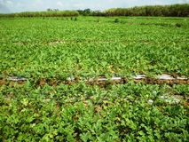 Agriculture watermelon field Stock Photography