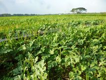 Agriculture watermelon field Stock Photo