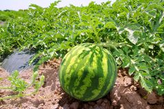 Agriculture watermelon field big fruit water melon Stock Photos