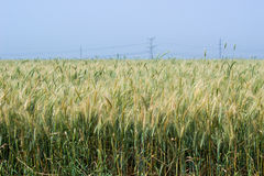 Agriculture wheat and blue sky Stock Images