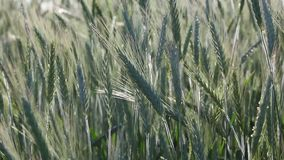Agriculture, wheat field stock video footage