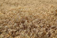 Agriculture, wheat field Royalty Free Stock Photo