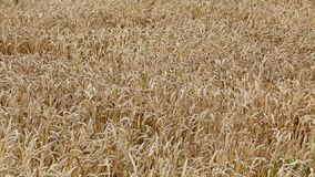 Agriculture, wheat field stock video
