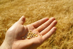Agriculture, wheat grain on hand Royalty Free Stock Photo