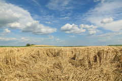 Agriculture, wheat harvest, damaged field. Agriculture, damaged wheat field after storm Royalty Free Stock Photos