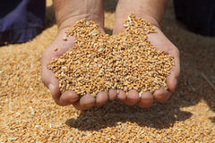 Agriculture, wheat harvest Royalty Free Stock Image