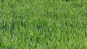 Agriculture, wheat moving in the breeze, wind stock footage