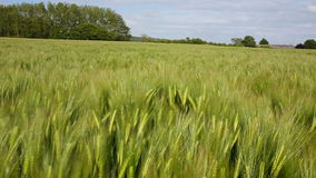 Agriculture - Wind - Crop of Barley stock video