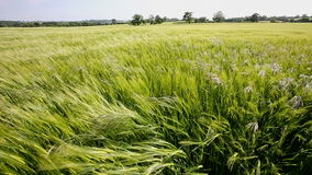 Agriculture - Wind - Crop of Barley stock footage