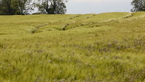 Agriculture - Wind - Crop of Barley. Agriculture - Wind blowing over a crop of Barley stock footage