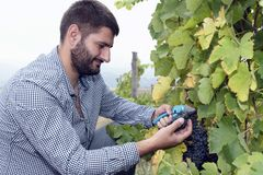 Agriculture Wine Industry Man Harvesting Vine Royalty Free Stock Images