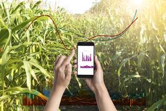 Agriculture. Woman with smartphone in corn field and charts, closeup
