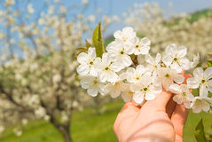 Agriculture work spring orchard. Agriculture work in spring cherry orchard, blossoms viewed by farmer, background Royalty Free Stock Photo
