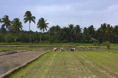 Agriculture workers on rice field Royalty Free Stock Photography