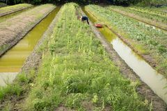 Agriculture working at vegetable garden with boat in small cana. L Thailand Royalty Free Stock Photography