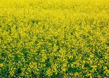 Agriculture, yellow rape Stock Image