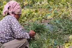agriculturist ciągnienia trawa Zdjęcie Royalty Free