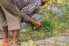 agriculturist ciągnienia trawa Zdjęcia Stock