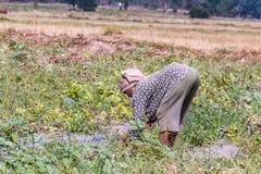 agriculturist ciągnienia trawa od warzywa Fotografia Stock