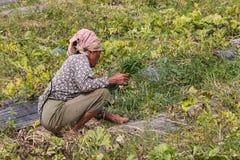 agriculturist ciągnienia trawa od warzywa Zdjęcie Royalty Free