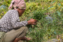 agriculturist ciągnienia trawa od warzywa Obrazy Royalty Free