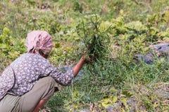 agriculturist ciągnienia trawa od warzywa Obraz Stock