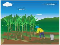 Agriculturist fertilizer banana plant. Design Stock Image