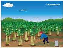 Agriculturist fertilizer cane plant. Design Stock Photo