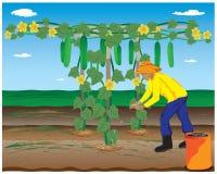 Agriculturist manure cucumber Stock Photography