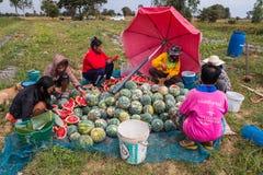 Agriculturist żniwa arbuz w ogródzie na Grudniu 13,2016 w zakazie Khamin, Kalasin prowincja, Tajlandia Zdjęcia Stock