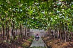Agriculturist podlewania winogrona w ogródzie Obraz Stock