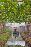 Agriculturist podlewania winogrona w ogródzie Zdjęcie Stock