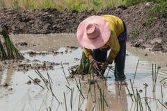 Agriculturist przeszczepu papirus Zdjęcie Stock