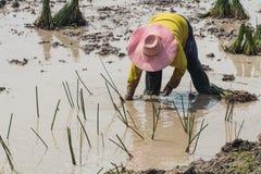 Agriculturist przeszczepu papirus Zdjęcia Stock