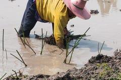 Agriculturist przeszczepu papirus Zdjęcia Royalty Free