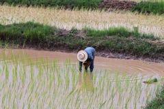 Agriculturist przeszczepu ryż rozsady Zdjęcie Royalty Free