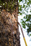 Agriculturist ręki mienia mleko gumowy drzewo Obrazy Stock