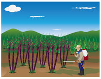 Agriculturist sprays cane plant Royalty Free Stock Photo