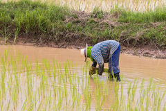 Agriculturist transplant rice seedlings Stock Photos