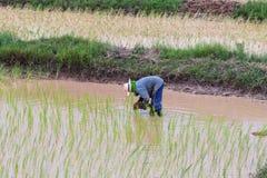 Agriculturist transplant rice seedlings Stock Image