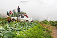 Agriculturists harvest cabbages Stock Photos