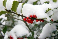 Agrifoglio Bush con neve Immagine Stock
