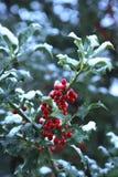 Agrifoglio con neve fotografie stock