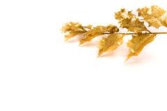 Agrifoglio dorato Immagini Stock Libere da Diritti