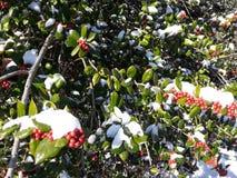 Agrifoglio nell'inverno Fotografie Stock Libere da Diritti