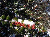 Agrifoglio in neve Immagine Stock