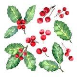 Agrifoglio o foglie e frutta europeo di ilex aquifolium Vischio di natale Fotografia Stock Libera da Diritti