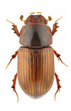 Agrilinus rufus Royalty Free Stock Photos