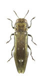 Agrilus ater Stock Photo